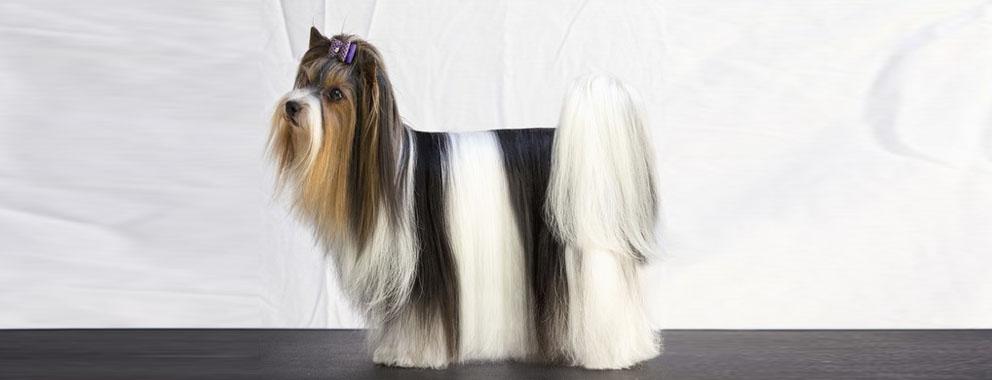 biewer-terrier