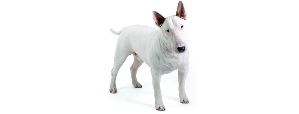 bull-terrier-miniatura