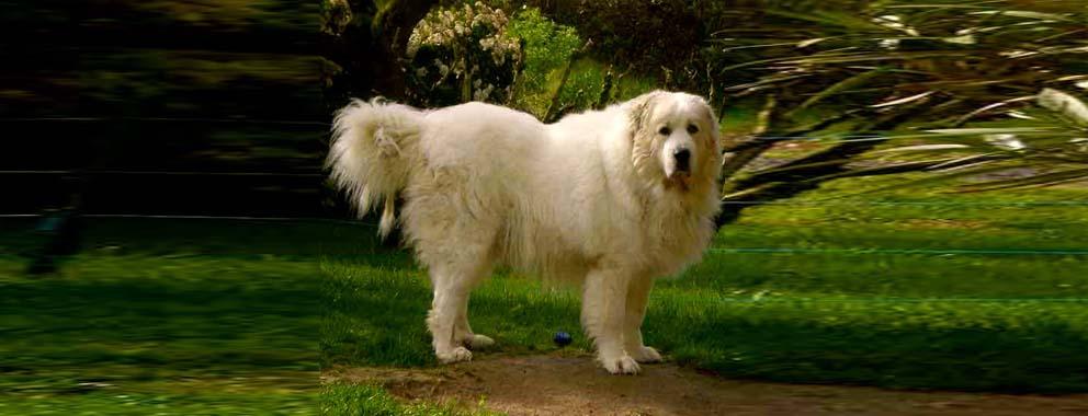 perro-de-montana-de-los-pirineos-3